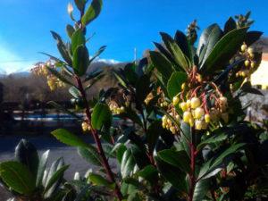 Fiore del corbezzolo